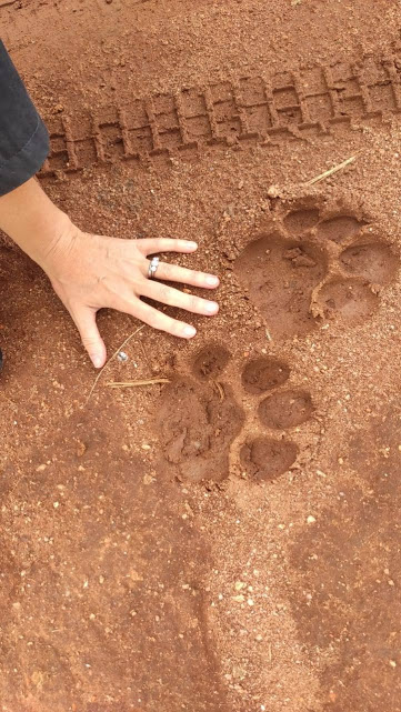 Lion prints by the self drive Land Rover in Africa