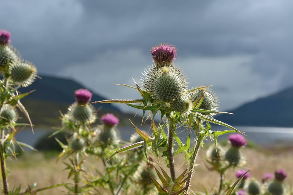 Scottish thistle in bloom