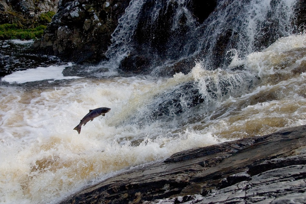 Leaping Salmon in Scotland's highland rivers and steams - Luxury Scotland with Sandgrouse Travel