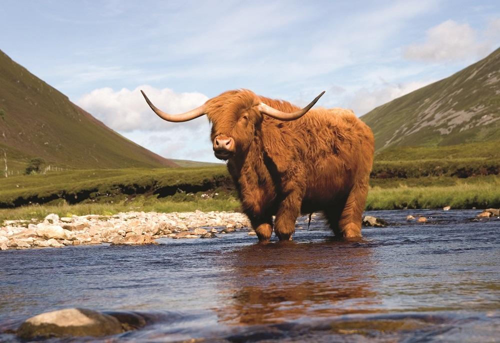 Scottish wildlife tours - Highland Cows in Scotland